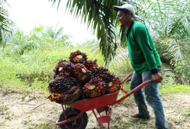 Mulyadi, petani di Desa Seunebok Punto, Trumon Timur, Aceh Selatan, sedang panen sawit. ((Foto/Faisal)