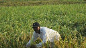 Lahan pertanian padi terbentang luas di hampir semua kabupaten di Aceh, seperti di Pidie Jaya ini. (Foto/Dok Waspadaaceh.com)