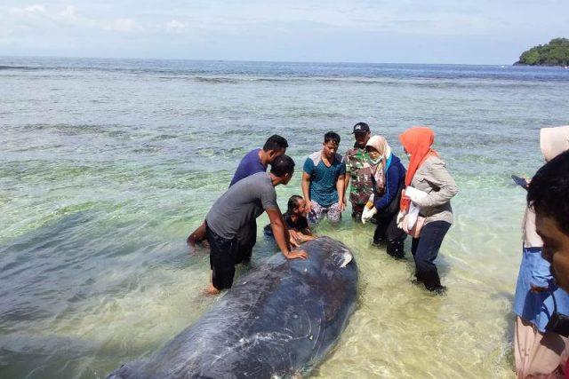 Seekor paus terdampar di pesisir laut Lhok Keutapang, Tapaktuan, hebohkan warga, (31/01/2019). (Foto/Faisal)