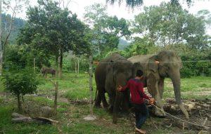 Mahot (petugas penjaga gajah) sedang membersihkan dan melakukan pengecekkan kondisi gajah sebelum diajak bermain bersama pengunjung, Kamis, (31/1/2019). (Foto/Zammil).