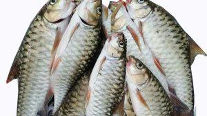 Ikan keurling atau jurung yang keberadaannya semakin langka di sungai-suangai di Aceh. (Foto/Ist)